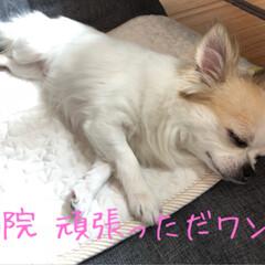 chiwawa/ロングコートチワワ/ちわわ/チワワ/ガクブル/病院/...  нёιιο¨̮॰*˙.  今日も暑いで…