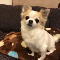 愛犬/チワワ同好会/チワワ大好き/チワワ部/ちわわ/ロンチー/... こんばんは🌙.*·̩͙.。★*゚  夜な…(2枚目)