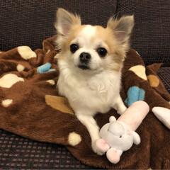 愛犬/チワワ同好会/チワワ大好き/チワワ部/ちわわ/ロンチー/... こんばんは🌙.*·̩͙.。★*゚  夜な…