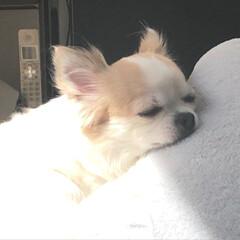 愛犬/お昼寝/ロンチー/ロングコートチワワ/チワワ/chiwawa/...  ᴴᴱᴸᴸᴼ︎❥❥❥»︎  今日も良い天…