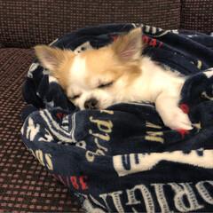 chiwawa/寝顔/癒し/dog/愛犬/チワワのいる生活/...  こんばんは🌙.*·̩͙.。★*゚  (…