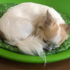 チワワクラブ/お昼寝マット/愛犬/チワワのヴェルちゃん/チワワのいる生活/お昼寝/... нёllо❁︎  今日も暑いですね💦  …