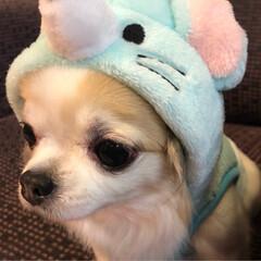 ペット/愛犬/ロングコートチワワ/チワワ/お正月2020/ファッション/...  。⋆☃️*ᴴᴬᴾᴾᵞ ᴺᴱᵂ ᵞᴱᴬᴿ…(2枚目)