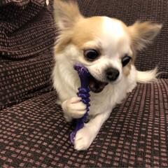 愛犬/チワワ倶楽部/チワワ同好会/チワワ大好き/チワワ部/ちわわ部/...  こんばんは🌙.*·̩͙.。★*゚  お…(6枚目)