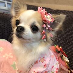 ペット/愛犬/ロングコートチワワ/チワワ/お正月2020/ファッション/...  。⋆☃️*ᴴᴬᴾᴾᵞ ᴺᴱᵂ ᵞᴱᴬᴿ…