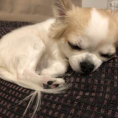 お昼寝/愛犬/うちの子自慢/第8回 うちの子ベストショット/チワワ同好会/チワワクラブ/... こんばんは🌙.*·̩͙.。★*゚  ヴェ…