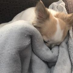 愛犬/お昼寝/ロンチー/ロングコートチワワ/チワワ/chiwawa/...  ᴴᴱᴸᴸᴼ︎❥❥❥»︎  今日も良い天…(2枚目)