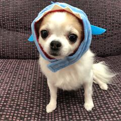 愛犬/チワワ同好会/チワワ部/ちわわ大好き/チワワのヴェルちゃん/ちわわ/...  ᴴᴱᴸᴸᴼ¨̮  先日、DAISOで買…