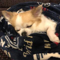 chiwawa/寝顔/癒し/dog/愛犬/チワワのいる生活/...  こんばんは🌙.*·̩͙.。★*゚  (…(2枚目)