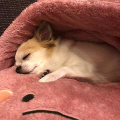 チワワ/可愛い/癒し/おやすみ/うちのこベストショット/おうち/... こんばんは✨  昨日の病院で疲れたみたい…