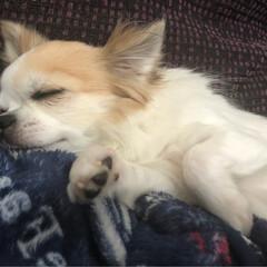 癒し/愛犬/チワワのいる生活/チワワのヴェルちゃん/チワワラブ/チワワ同好会/...  おはようございます🌧⛅️  朝寝のヴェ…