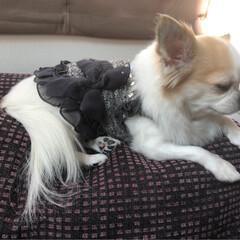 ヴェル/愛犬/ちわわ/ロングコートチワワ/チワワ/お洋服/... こんにちはฅ՞•ﻌ•՞ฅワン  ママに大…