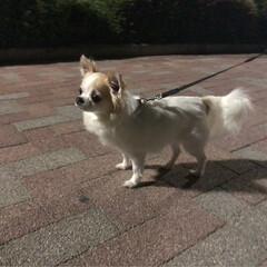 ほたる/蛍/お散歩/愛犬/チワワのヴェルちゃん/chiwawa/...  нёιιο¨̮॰*˙.  昨日は、ホル…
