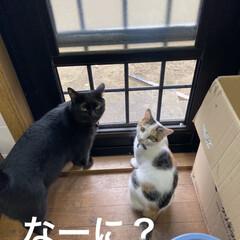 猫との暮らし/黒猫/トラ猫/三毛猫/猫好き 黒猫のクマと三毛猫のあずき。 トラ猫のリ…