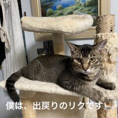 猫との暮らし/トラ猫 今年の5月に里親に出した  トラ猫のリク…
