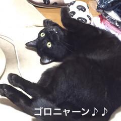 猫派/にゃんこ同好会 最近、へそ天して寝てる  ♂黒猫のクマち…