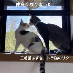 猫との暮らし/トラ猫 今年の5月に里親に出した  トラ猫のリク…(2枚目)