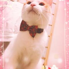元保護猫/うちの子/ネコ/ニャンコ/白茶猫/ペット/... 紅姫(あき)ちゃん、首輪新調 (`・ω・…