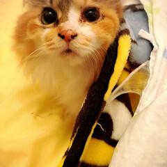 長毛猫/三毛猫/ネコ/うちの子/元保護猫/ニャンコ/... アマちゃん、寒くて毛布にはいる