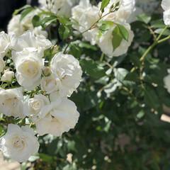 バラ/外出自粛/ガーデニング/雑貨/おしゃれ/暮らし バラの季節です♡ こちらは実家のバラ…⸜…