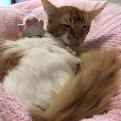 ペット/猫/にゃんこ同好会 おはようございます٩(*´꒳`*)۶ 昨…(1枚目)