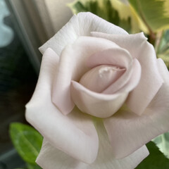 ステンレススチール/ばら/薔薇/バラ おはようございます😊 ステンレススチール…