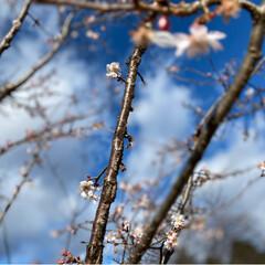 寒桜/お正月2020 こんばんは(*^▽^*)ノ 今日は、家の…