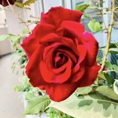 ベルベットフレグランス/薔薇/バラ/ばら 先日の水害によりご被害に遭われた皆様、心…