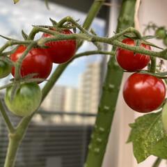 初収穫/ミニトマト おはようございます٩(*´꒳`*)۶ 5…