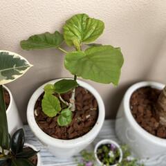 ダイソー/ゴムの木/カラテア/ウンベラータ/新芽/観葉植物 今年の冬に全部葉を落としてしまった、ウン…
