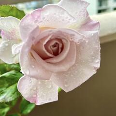 花のある暮らし/ステンレススチール/バラ/ガーベラ/カーネーション/花 バラの、ステンレススチールが咲きました🌹…(1枚目)