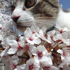 春の一枚 にゃん太にとっては、生まれて初めて見る桜…