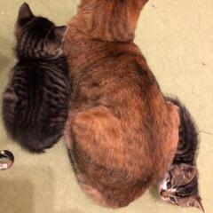 子猫/猫 娘がボランティアで子猫を預かっています。…