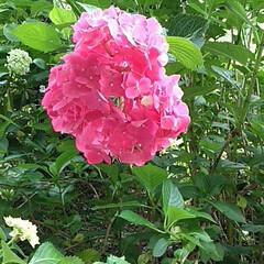 梅雨/梅雨対策/雨対策/梅雨対策アイテム/梅雨便利グッズ/植物/... 植物に囲まれて…🌿 あじさい。❖