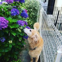 多肉植物/ゴールデンレトリバー/紫陽花/小さいお庭/お庭 皆様おはようございます・.。*・.。* …