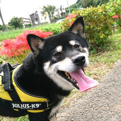 散歩/秋/彼岸花/ペット/犬 いつもより少し遠めのお散歩🐾  とっても…