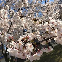 お花見/桜/春/おでかけ/風景/おでかけワンショット 今日はお天気に恵まれて、ちょっとだけお花…(2枚目)