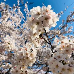 お花見/桜/春/おでかけ/風景/おでかけワンショット 今日はお天気に恵まれて、ちょっとだけお花…(1枚目)