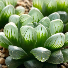 植物のある暮らし/植中毒/窓辺/ロゼア/オブツーサ/ハオルチア/... 植物がイキイキしてきた。 まだ気温は30…(2枚目)
