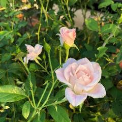 ルコウ草/クレマチスクリオネ/ブラッシングアイスバーグ/薔薇/花壇/ガーデニング 過酷だった今年の夏。 今日も30℃になる…