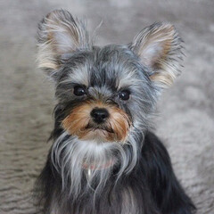 愛犬/うちの子/犬のいる暮らし/ヨークシャーテリア/ヨーキー/犬との生活/... 生後7か月。大人びた顔をするようになった…