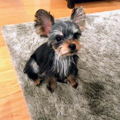ヨークシャーテリア/ヨーキー/犬のいる生活/愛犬/イーブイ/トリミング/... 新しく迎えたヨーキー。胸毛が白くなってい…