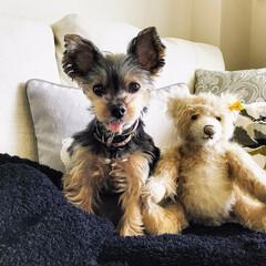 愛犬/ヨークシャーテリア/ヨーキー/虹の橋/虹の橋を渡った愛犬/犬のいる生活/... 2018年9月9日に虹の橋を渡った愛犬。…