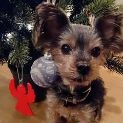愛犬/クリスマス/クリスマスツリー/オーナメント/バカラ/クリスタル/... クリスマスには小さいツリーを飾ります。オ…