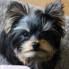 ヨークシャーテリア/ヨーキー/愛犬/犬の赤ちゃん/癒し/愛しいもの 愛犬イヴ。気の強そうな感じですが、そのま…