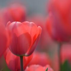 はじめてフォト投稿/風景/チューリップ/埼玉/鴻巣市 楽園 埼玉県鴻巣市 花のオアシスに咲くチ…