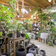 インテリア/観葉植物/グリーン/ディスプレイ/肥料/アンドホーム/...  ユニークな枝ぶりや葉形の種類が出回り、…