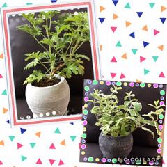 観葉植物 ローズゼラリウムとパイナップルミント 仲…