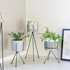 植物/観葉植物/植物のある暮らし/インテリアグリーン/グリーンのある暮らし/暮らしを整える/... グリーンの上手な魅せ方  グリーンをイン…(1枚目)