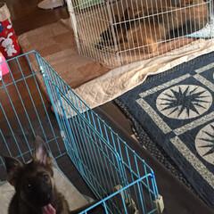 家族/避難/台風/ペット 昨夜、台風対策で我が家のリビングは、犬達…(1枚目)